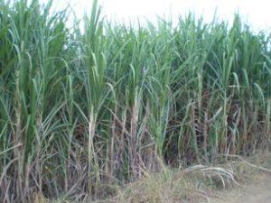 Cultiver la canne à sucre sans herbicides